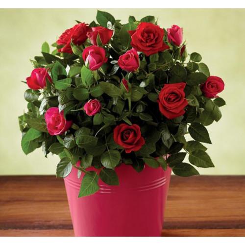 Купить на заказ Заказать Роза комнатная с доставкой по Талдыкоргану с доставкой в Талдыкоргане